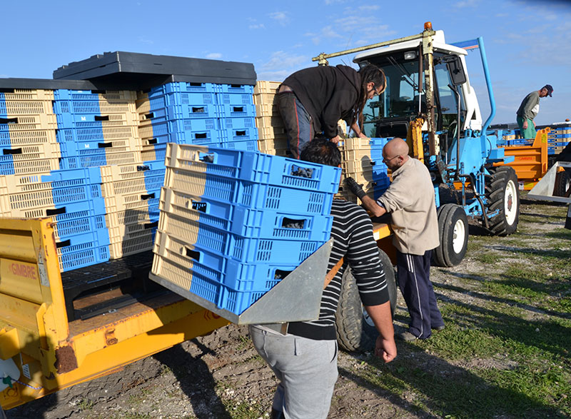 2) Two-colour crates being used for grape picking